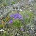 Blumenpracht auf dem Gerber (2742m): Halbkugelige Teufelskralle (Phyteuna hemisphoerium).