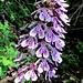 Orchidea bruciacchiata
