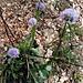 Globularia cordifolia L.<br />Plantaginaceae (incl. Globulariaceae p.p.)<br /><br />Vedovelle celesti.<br />Globulaire à feuilles en coeur.<br />Herzblättrige Kugelblume