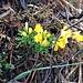 Lotus corniculatus L.<br />Fabaceae<br /><br />Ginestrino comune.<br />Lotier corniculé.<br />Gewoehnlicher Hornklee.
