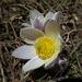 vereinzelte Frühlings-Anemonen