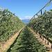Obstkulturen hoch über dem Genfersee