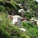 Schafe auf dem Forstberg