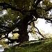 Einer der riesigen Kampferbäume vor dem Tempel Shoren-in / 青蓮院.