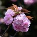 Auch wenn die Kirschblüte in der zweiten Aprilhälfte eigentlich schon vorbei ist: einige Bäume blühen noch.