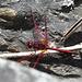 Libelle am Wegesrand