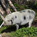 Glückliches Schwein