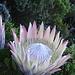 schöner als in Kirstenbosch ist es in freier Natur