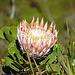 und noch eine Protea zur Belohnung