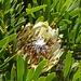 auch irgendeine Protea