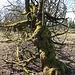 Knorrige bemooste Bäume