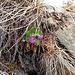 Primula hirsuta All.<br />Primulaceae<br /><br />Primula irsuta.<br />Primevère à gorge blanche.<br />Rote Felsen-Primel.<br />