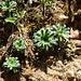Blattrosetten des Safrangelben Steinbrech: die langen Blüten mit den ausladenden Rispen erscheinen erst im Juni
