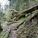 Umgestürzte Bäume und Wurzelskulpturen prägen das Bild entlang des Weges