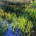 Reisfeld - äh verlandeter Teich