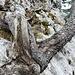 ... mit knorrigen Bäumen - und Enzian