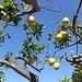Lipari: le meravigliose piante di limoni - e i buonissimi limoni (!) - subito fuori dalla camera del nostro B&B.....