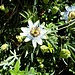 fiore della passione o passiflora