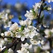Plumb tree in full bloom