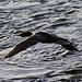 Cormorant in flight