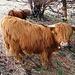 vacche Highlander Scozzesi