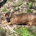 Pákova hora - Unser Begleiter hat heute seinen veganen Tag. Selbst die später in verschiedenen Größen angetroffenen Wildschweine knabbert er deshalb nicht an.
