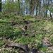 Unterwegs am Pákova hora - Noch immer blühen unzählige Buschwindröschen.