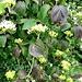 Viburnum lantana L.<br />Adoxacea (incl. Caprifoliacea p.p.)<br /><br />Viburno lantana.<br />Viorne lantane.<br />Wolliger Schneeball.