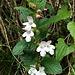 Dictamnus albus L.<br />Rutaceae<br /><br />Dittamo.<br />Dictame blanc.<br />Weisser Diptam.