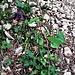 Aquilegia atrata W. D. J. Koch<br />Ranunculaceae<br /><br />Aquilegia scura.<br />Ancolie noiratre.<br />Dunkel Akelei.<br />