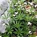 Galium odoratum (L.) Scop. Rubiaceae  Caglio odoroso. Gaillet odorant. Echter Waldmeister.
