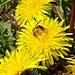Die Bienen finden viel Nektar.