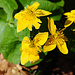 Es gibt wenig Blüten im Bayerischen Wald. Der Grund dafür wird auf den Infotafeln erklärt, ich hab's vergessen.