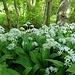 Die Blüten des Bärlauch sind ein herrlicher Anblick und der Duft des Krautes ist betörend