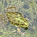 Ein Frosch im Spinnereiweiher in Freienstein