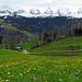 Löwenzahn wie Mitte April bei uns im Rheintal, von Scharten geht es  rechts wieder den Berg hinauf nach Oberschwendi und Unterschwendi zum Ausgangspunkt, dabei sind nochmals 140 Höhenmeter zu bewältigen. In Scharten gibt es eigentlich gar keinen richtigen Parkplatz.