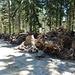 Friedhof der gerodeten Baumwurzeln