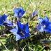 So blau, blau, blau blüht der Enzian