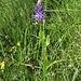 Phyteuma betoncifolium Vill.<br />Campanulaceae<br /><br />Raponzolo montano.<br />Raiponce à feuilles de betoine.<br />Betonienblättrige Rapunzel.