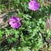 Geranium pratense L.<br />Gerianaceae<br /><br />Geranio dei prati.<br />Géranium des prés.<br />Wiesen-Storchschnabel.<br />