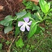Vinca maior L.<br />Apocynaceae<br /><br />Pervinca maggiore.<br />Grande pervenche.<br />Grosses Immergrün.<br />