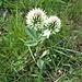 Trifolium hybridum L. s.str.<br />Fabaceae<br /><br />Trifoglio ibrido.<br />Trèfle hybride.<br />Gewöhnlicher Bastard-Klee.