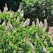 California buckeye or California horse-chestnut (Aesculus californica)