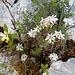 sehr seltene Blumen an den Ravellen