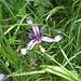 che fiore è ? forse una specie di Iris?