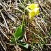Der Balmhornhüttenweg ist ein Bergblumenparadies: Flueblüemli...