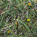 """Schmetterlingshaft. Dies ist ein Männchen eines """"Libellen-Schmetterlingshafts"""" (Libelloides coccajus)"""