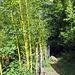Dopo Sambugaro si attraversa una incredibile, per la Verzasca,  foresta di bambù