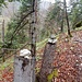 """im zu Beginn sehr steilen Anstieg des Pfädlis 69 finden wir zahlreiche dieser """"Baumsteinmänner"""""""
