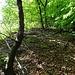 Grat erreicht. Dort wo der Wanderweg zur Schwengimatt nach links hinauf führt, bin ich in den Wald hinein und nach einem kurzen Anstieg mehr oder weniger horizontal, wohl auf einem Wildwechsel, zur Kante hinaus gequert.